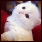 Traditional White Doll Face , 7 Gorgeous Doll Face Persian Cats For Sale In Cat Category
