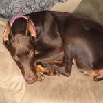 Warlock Doberman Pinchers , 8 Cool Warlock Doberman Puppies For Sale In Dog Category