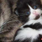 Week Old Persian , 8 Charming Persian Cats San Diego In Cat Category