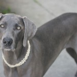 Weimaraner , 7 Nice Weinheimer Puppies In Dog Category