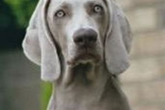 Weimaraner Pagan , 4 Cool Weinheimer Puppies For Sale In Dog Category