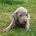 Weimaraner Puppy Pictures , 7 Nice Weinheimer Puppies In Dog Category