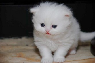 Weirdest Cat Breeds , 6 Lovely Miniature Persian Cats For Sale In Cat Category