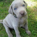 Whiskey the Weimaraner , 7 Nice Weinheimer Puppies In Dog Category