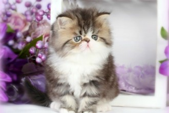 White Bicolor Teacup  , 6 Lovely Miniature Persian Cats For Sale In Cat Category