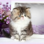 White Bicolor Teacup Persian Kitten , 7 Cute Mini Persian Cats For Sale In Cat Category