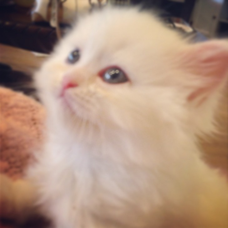 Cat , 5 Good Doll Face Persian Cats : White Doll Face Persian