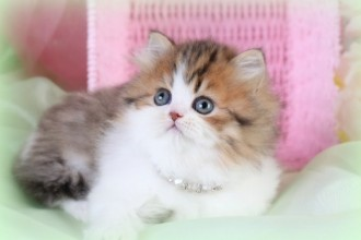 White Persian Kitten , 7 Cute Mini Persian Cats For Sale In Cat Category