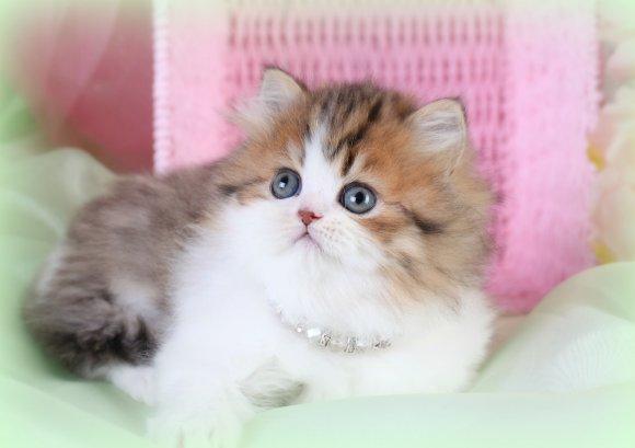 Cat , 7 Cute Mini Persian Cats For Sale : White Persian Kitten