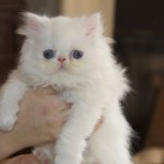 White Persian Kittens , 4 Top Persian Cat For Sale Los Angeles In Cat Category