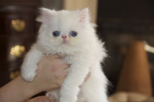 White Persian Kittens : Biological Science Picture Directory