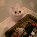 White Teacup Persian Kitten , 6Good Persian Cat Grooming Tools In Cat Category
