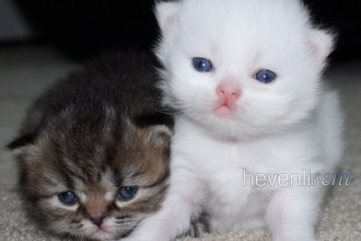 White Teacup Persian Kitten , 8 Cool Teacup Persian Cats For Sale In Cat Category