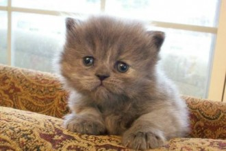 White Teacup Persian Kittens , 7 Cute Mini Persian Cats For Sale In Cat Category