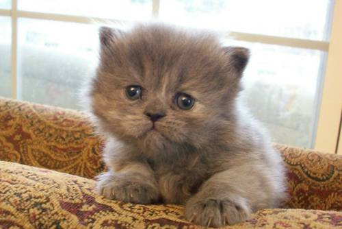Cat , 7 Cute Mini Persian Cats For Sale : White Teacup Persian Kittens