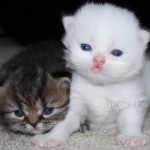 White Teacup Persian Kittens , 8 Cool Tea Cup Persian Cats In Cat Category
