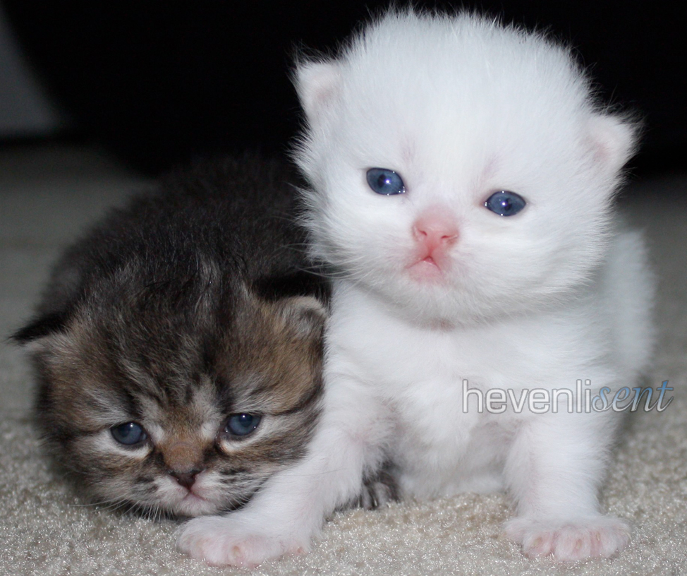 White Teacup Persian Kittens Biological Science Picture