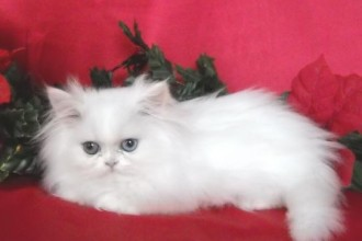 White Teacup Persian Male kitten in Plants