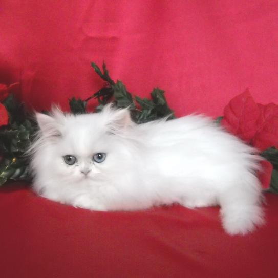 White Teacup Persian Male kitten