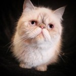 Young Adult Exotic Shorthair  , 7 Cute Persian Shorthair Cat In Cat Category