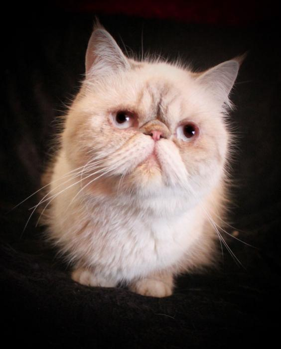 Cat , 7 Nice Exotic Shorthair Persian Cat : Young Adult Exotic Shorthair