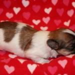 Yuppy Havanese , 7 Cute Yuppy Puppy Havanese In Dog Category