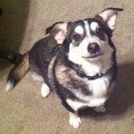 a beautiful siberian husky  , 9 Beautiful Siborgi Puppies In Dog Category