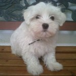 adorable Maltese puppy , 7 Cool Maltese Puppies For Sale In Augusta Ga In Dog Category