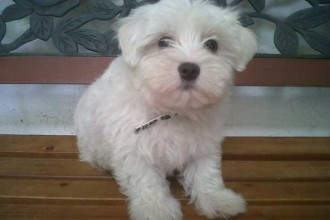 adorable Maltese puppy in pisces