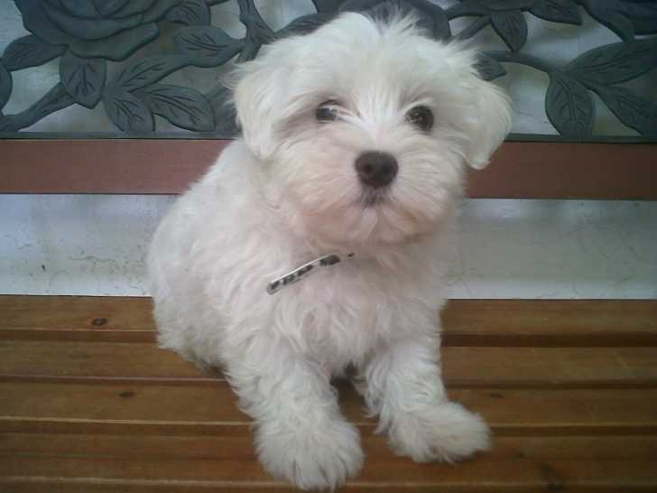 Dog , 7 Cool Maltese Puppies For Sale In Augusta Ga : Adorable Maltese Puppy