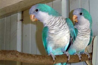 African Grey Parrot , 7 Nice Quaker Parrots In Birds Category