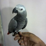 african grey parrot for sale karachi , 8 Nice African Grey Parrot Price In Birds Category