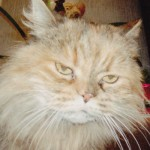 allergyc Reaction , 9 Fabulous Persian Cats And Allergies In Cat Category