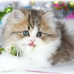 animal shelter , 8 Nice How Much Do Teacup Persian Cats Cost In Cat Category
