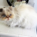 animal welfare , 8 Cool Adopt A Persian Cat In Cat Category