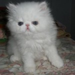 australian pet , 6 Nice Persians Cats For Sale In Cat Category