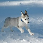 beautiful siberian husky , 9 Beautiful Siborgi Puppies In Dog Category
