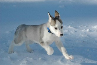 Beautiful Siberian Husky , 9 Beautiful Siborgi Puppies In Dog Category