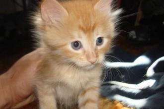 Beautiful Tabby , 8 Fabulous Persian Cats Los Angeles In Cat Category