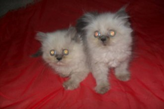 Bengal Cat , 9 Charming Persian Cat Rescue San Diego In Cat Category
