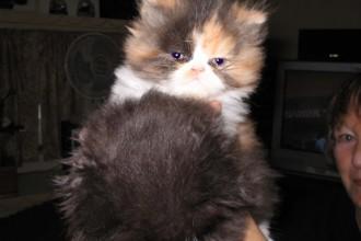 Bengal Cat San Antonio , 6 Good Persian Cats San Antonio In Cat Category