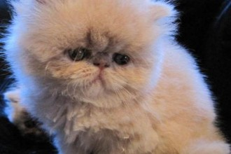 Bengal Cats For Sale , 5 Good Persian Cat Breeder In Cat Category