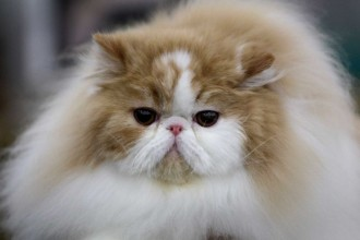 Cat , 6 Stunning Persian Cats Houston : bengal cats for sale