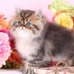 birman cat , 7 Cute Teacup Persian Cat For Sale In Cat Category