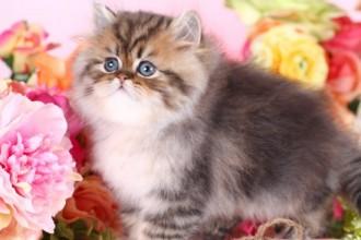 Birman Cat , 7 Cute Teacup Persian Cat For Sale In Cat Category