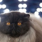 black Persian cat , 6 Stunning Persian Cats Houston In Cat Category