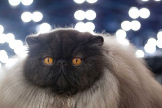 black Persian cat in pisces