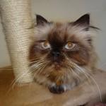 black persian cat , 9 Nice Persian Cat Eye Care In Cat Category