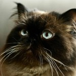 black persian cat , 9 Cool How Much Do Persian Cats Cost In Cat Category