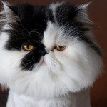 black persian cat , 7 Cool Persian Cat Haircuts In Cat Category